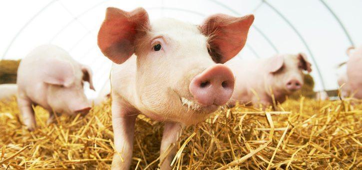 mold inhibitor swine
