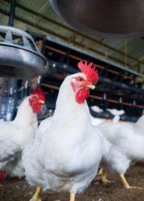 broiler chicken performance