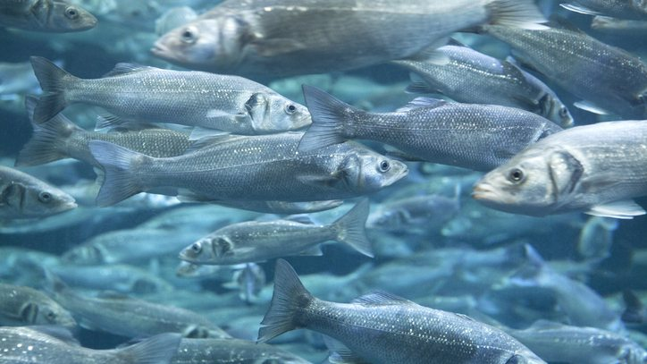 Aquaculture Feed Sea Bass