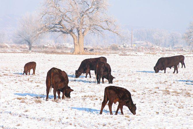 Texas Livestock