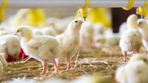Poultry industry issues in 2017
