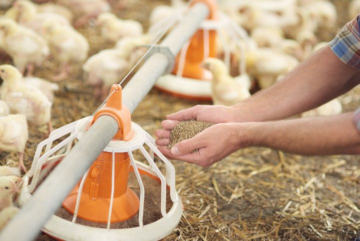 Poultry Feed Nutrition