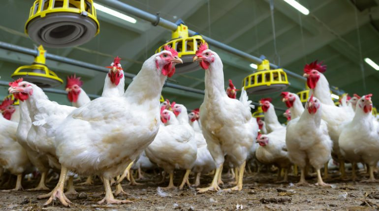 Poultry health problems
