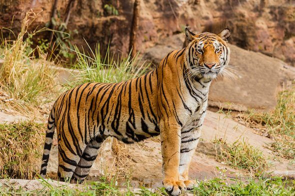 Tigers benefit farmers in rural India